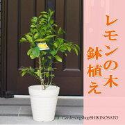 実付きレモンの木(樹高:1.2m内外)【