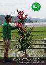 サルスベリ/百日紅(樹高:1.6m内外)花色:ピンク2019.6月撮影