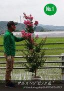 サルスベリ(百日紅)(樹高:2.2m内外)ピンク色