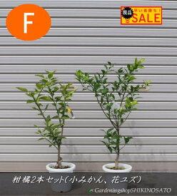 大特価・【Eセット】果樹苗2本セット(花柚子、小みかん2019.9月撮影