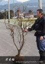 1/17現在花芽、開花中縁起木●ウンリュウバイ・雲竜梅(樹高:1.5m内外)2020.1月撮影