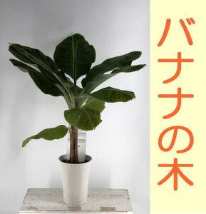 【贈り物・ご自宅に】 トロピカル雰囲気バナナの木/三尺バナナ/バナナツリー(高さ:1m内外)2020.7月撮影
