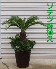 【現品】ソテツ/蘇鉄 鉢植え (高さ:1.2m内外)B2020.9月撮影