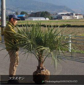 【送料無料】南国風・特大サイズやし/ココスヤシ/(高さ:1.5m内外)2020.11月撮影