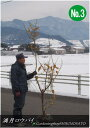 満月蝋梅/ロウバイ (樹高:2.1〜2.4m内外)No3,42021.1月撮影