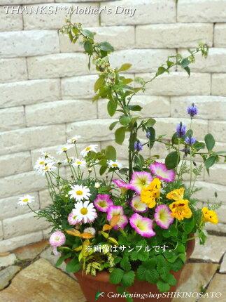 【ギフト●ご自宅用に】ブルーベリーと季節のお花寄せ植え