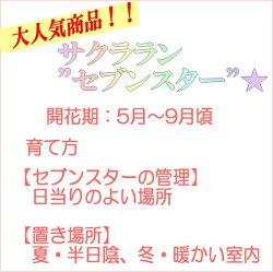 """【大人気】サクララン""""セブンスター""""(ホヤベラ)(高さ:0.3m内外・3号鉢)"""