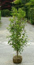 キンモクセイ(樹高 1.2m内外)