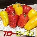 ピーマン 2.5kg 箱入り 佐藤さんちのカラーピーマン 赤 黄