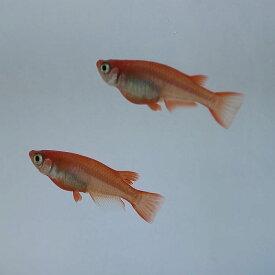 (メダカ めだか) 紅帝 5匹セット 赤レベル4 紅帝メダカ セット 生体 種類 赤 鮮やか 淡水魚 観賞魚 観賞用 アクアリウム ペット 飼育 繁殖 掛け合わせ 販売