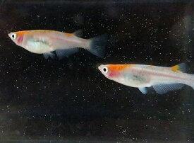 (メダカ めだか) 紅頭 3匹(1ペア+1匹) セット! 2色 紅白 高級 生体 種類 淡水魚 観賞魚 観賞用 アクアリウム ペット 飼育 栃木 県産 販売