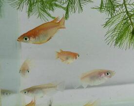(メダカ めだか) 半ダルマ1匹ダルマメダカ 半だるま 種類 淡水魚 観賞魚 観賞用 アクアリウム