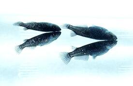 (メダカ めだか)ブラックダイヤ 3cm-4cm 5匹セット!オロチメダカ オロチめだか 黒メダカ 黒めだか ペット 黒 高級 変わり 種類 生体 成魚 淡水魚 観賞 魚 観賞用 アクアリウム 千葉 県産
