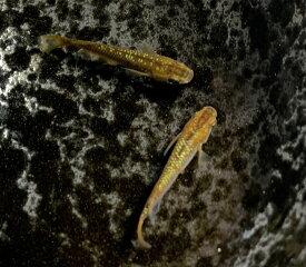 (メダカ めだか)琥珀ラメレインボー 3cm 3匹ミユキ 三色 ラメ ペット 琥珀 黒 高級 変わり 種類 生体 成魚 淡水魚 観賞 魚 観賞用 アクアリウム 埼玉 県産