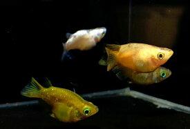 (メダカ めだか)ダルマ 3匹ダルマ 高級 変わり 種類 生体 成魚 淡水魚 観賞 魚 観賞用