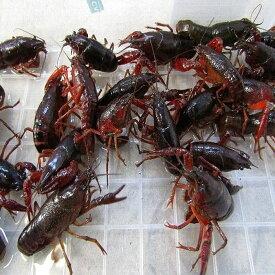 (活エサ)ザリガニ Lサイズ(Lcm8-9cm)30匹セット 釣りえさ 釣り餌 活えさ 生き餌 生餌 エサ えさ 餌 色揚げ