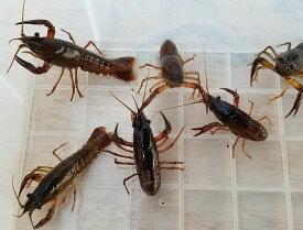 (活エサ)ザリガニ Mサイズ(5cm-7cm)30匹セット 釣りえさ 釣り餌 活えさ 生き餌 生餌 エサ えさ 餌 色揚げ