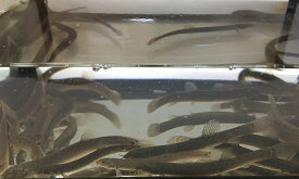 (活エサ) 生エサ 活えさ ドジョウ どじょう Sサイズ(6cm-9cm)50匹セット 釣りえさ 釣り餌 生き餌 生餌 エサ えさ 餌 淡水魚 国産 天然 販売