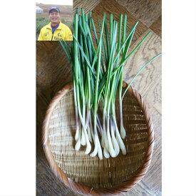 茨城県 ひたちなか市 国産 産直 甘い 旨い 減農薬  エシャレット 20本程度 送料無料