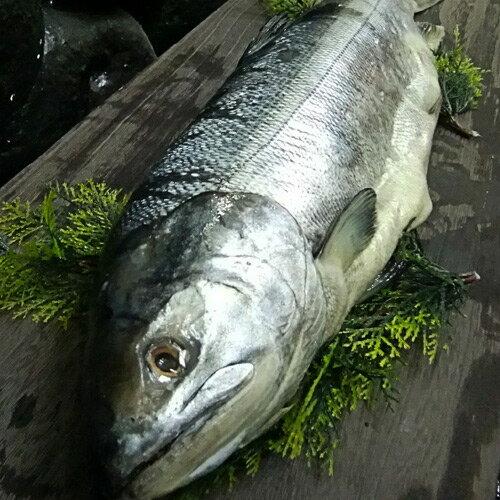 新巻鮭 【北海道産】 新巻鮭 1本 2.0kg前後 贈り物にも