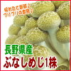 新鮮プリプリ♪長野県産ぶなしめじ一株