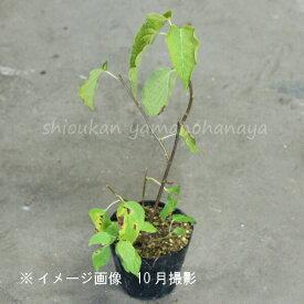 (1ポット)マタタビ 10.5cmポット仮植え苗 果樹苗/木天蓼
