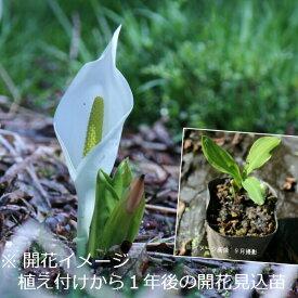 (1ポット)ミズバショウ 10.5cmポット苗 湿地植物/耐寒性多年草/水芭蕉
