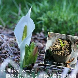 (1ポット)ミズバショウ 9cmポット苗 湿地性多年草/ビオトープ/水芭蕉/※7/31葉に傷み有り