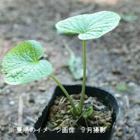 (5ポット)ハタケワサビ 9cmポット苗5ポットセット 山菜苗/耐寒性多年草/畑山葵