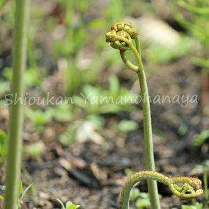 (5ポット)ワラビ 10.5cmポット苗5ポットセット 山菜苗/耐寒性多年草/蕨