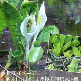 (1ポット)斑入りミズバショウ 10.5cmポット苗 湿地植物/耐寒性多年草/水芭蕉