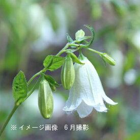 (1ポット)白花二重咲きホタルブクロ 9cmポット苗 山野草/耐寒性多年草/蛍袋/カンパニュラ