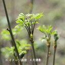 (5ポット)コシアブラ 10.5cmポット苗5ポットセット 樹高20〜30cm/山菜苗/漉油