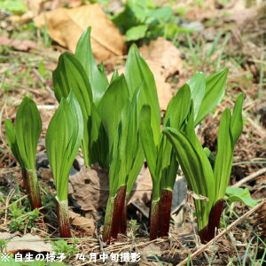(100ポット)ギョウジャニンニク 9cmポット苗100ポットセット 山菜苗/耐寒性多年草/アイヌネギ/※6/16葉が傷んでいます