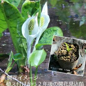(1ポット)斑入りミズバショウ 9cmポット苗 湿地性多年草/ビオトープ/水芭蕉/※7/31葉に傷み有り