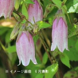 (1ポット)桃花ホタルブクロ 9cmポット苗 山野草/耐寒性多年草/蛍袋/カンパニュラ