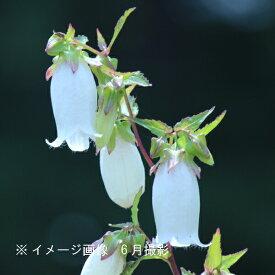 (1ポット)白花ホタルブクロ 9cmポット仮植え苗 山野草/耐寒性多年草/蛍袋/カンパニュラ