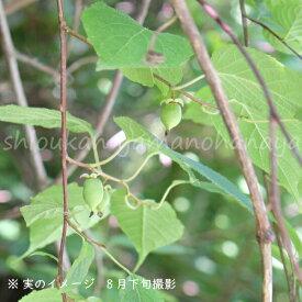 (1ポット)マタタビ 10.5cmポット仮植え苗 果樹仮植え苗/木天蓼