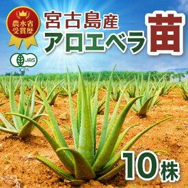 【栽培】アロエベラ 苗 沖縄 宮古島産 10株