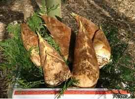 ブランドタケノコ 皮付き筍 朝掘り 産地直送 千葉・大多喜の たけのこ 約5kg【発送時期:4月上旬頃〜5月上旬頃】粘土質土壌だから日本一と言われる美味さ、根元まで柔らかくアクがほとんど無い