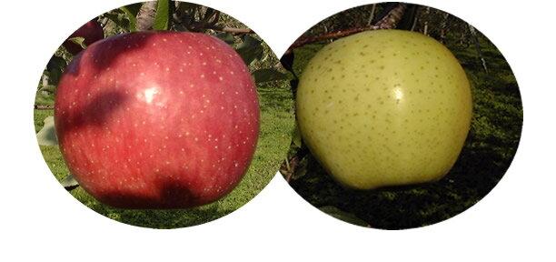 まるかじりできる津軽岩木山のリンゴ!徹底減農薬、無袋栽培 サンふじ・王林(ご家庭用)10kg 【発送 11月中旬 〜 3月中旬頃】