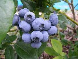 岩手県遠野の農薬不使用 わけあり ブルーベリー約1kg※生(期間限定)か冷凍(通年)かをお選びください。