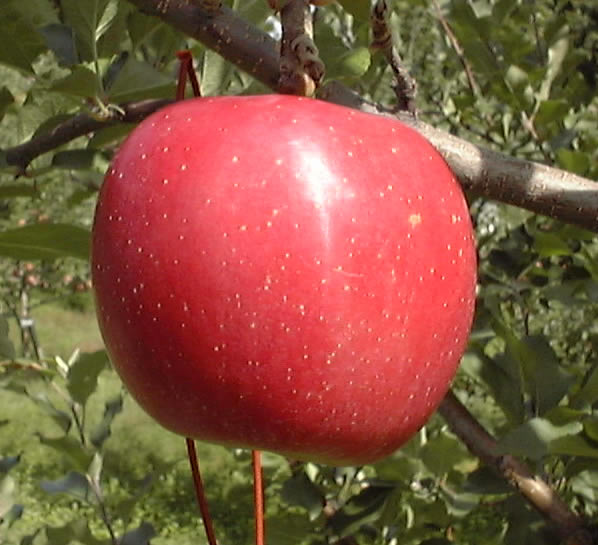 まるかじりできる 青森 津軽岩木山のリンゴ!徹底 減農薬、無袋栽培 弘前ふじ(ご家庭用)約10kg 【発送:10月初旬頃〜10月中旬頃】