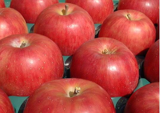 まるかじりできる津軽岩木山のリンゴ!徹底減農薬、無袋栽培 サンつがる(ご家庭用)約10kg(約28〜32個) 【発送:9月中旬頃〜9月下旬頃】