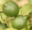 【2017年ご予約受付中】【送料無料】【農薬・防腐剤・ワックス完全不使用】宮古島のグリーンレモン 4kg(32〜40個)【発送期間7月下旬〜10月末】