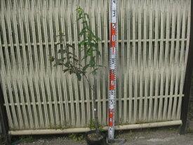 貴陽(ハリウッド受粉樹付き) 18cmポット苗