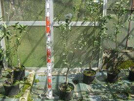 種なしユズ(多田錦)24cmポット苗