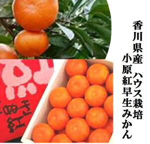 「希少品種」香川県産 果皮が赤く袋が薄い小原紅早生ハウスみかん(糖度12度以上) 1箱1.5kg(L〜2S寸 12〜20玉)※箱のデザインがかわります。