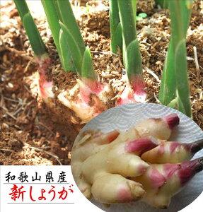 和歌山県産 新しょうが 1箱 4kg ※簡易箱・簡易包装でのお届けとなります。