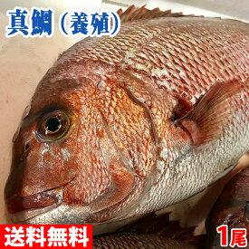【送料無料】愛媛県産 養殖マダイ(真鯛)1尾 約1.2〜1.8kg(正味600g〜700g)